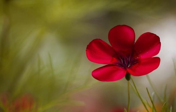Картинка цветок, макро, красный, зеленый, фон, растение