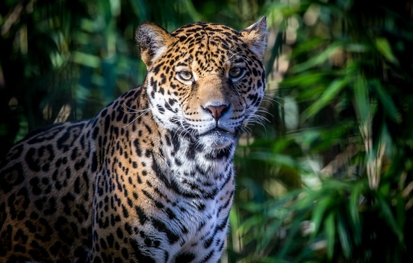 Картинка морда, листва, тень, хищник, пятна, ягуар, дикая кошка