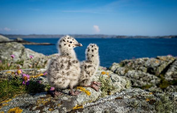 Картинка природа, чайки, Норвегия, птенцы