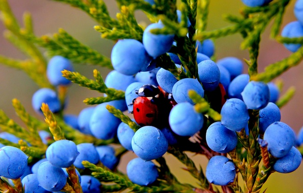 Картинка осень, макро, природа, ягоды, растение, божья коровка, плоды, насекомое, можжевельник