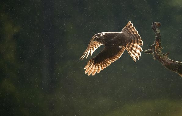 Картинка осень, капли, полет, дождь, птица, хищник, ветка, перепелятник