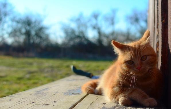 Картинка фон, шерсть, Кот, рыжий, вазгляд
