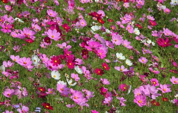 Картинка поле, природа, растение, лепестки, луг, космея