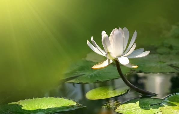 Картинка цветок, вода, пруд, лотос, кувшинка, flower, water, lotus, pound, water lily