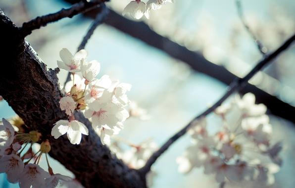 Картинка цветы, дерево, весна, цветение, фруктовое