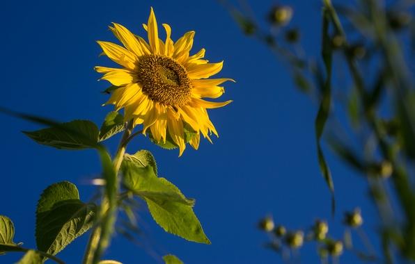 Картинка поле, цветок, небо, листья, подсолнух, лепестки