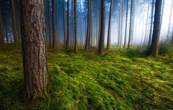 Картинка трава, деревья, природа, туман, стволы, мох, утро, Лес