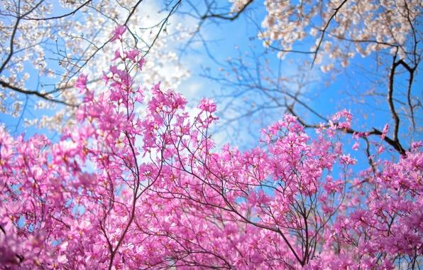 Картинка небо, деревья, цветы, весна, сад
