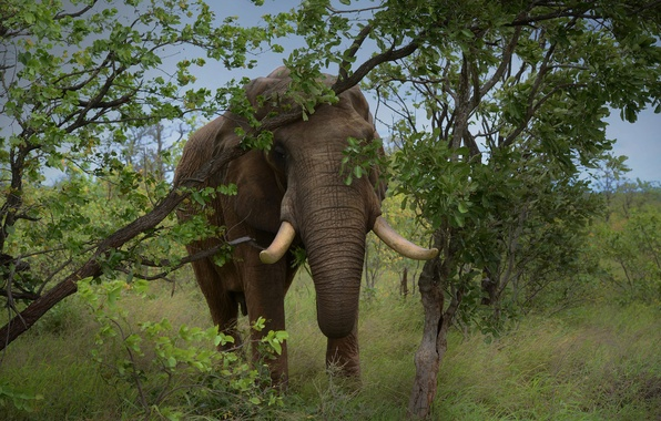 Картинка трава, деревья, природа, слон, бивни