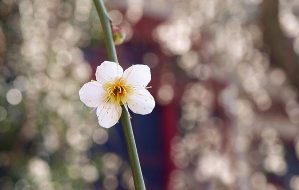 Картинка цветок, макро, блики, ветка, Белый, лепестки, размытость, бутон