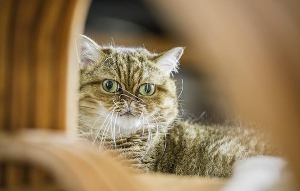 Картинка кот, взгляд, кошак, котяра, Shorthair