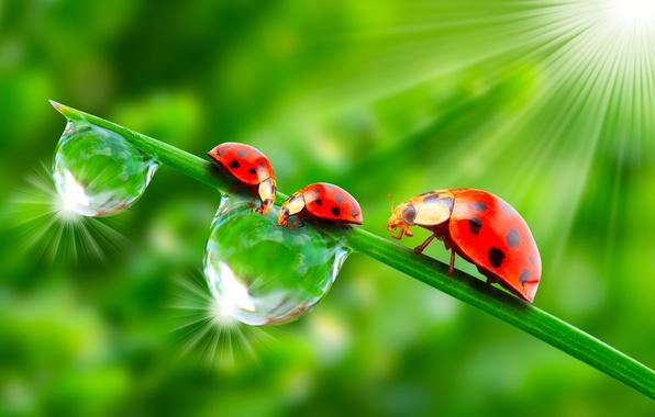Картинка зелень, солнце, капли, макро, насекомые, роса, рендеринг, божьи коровки, обои от lolita777