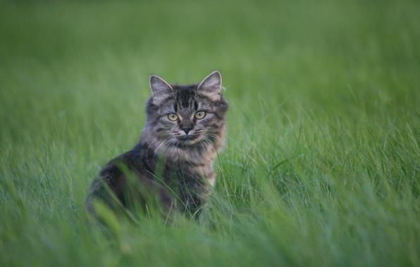 Картинка трава, взгляд, котенок, серый