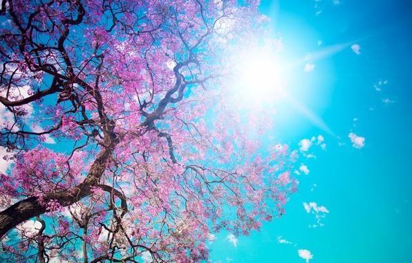 Картинка небо, солнце, дерево, голубое, красота, лепестки, розовые, цветение, Beautiful tree blossom, ослепительное