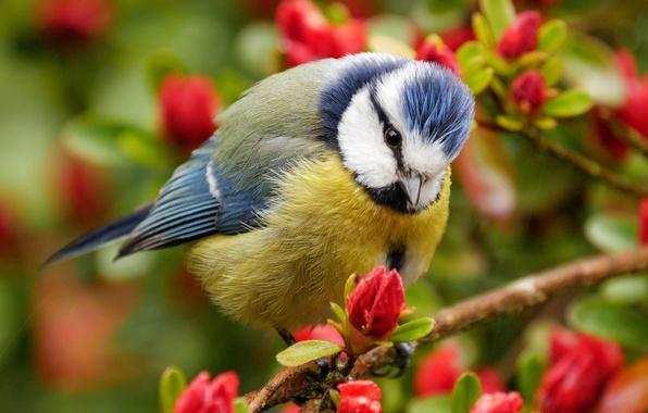 Картинка ветки, птица, цветение, цветки, синица, лазоревка