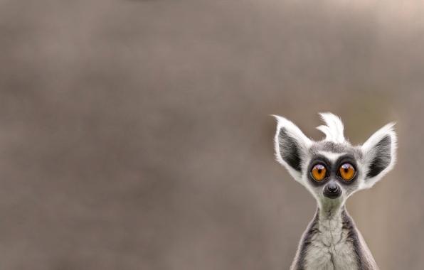 Картинка морда, животное, лемур, Lemur