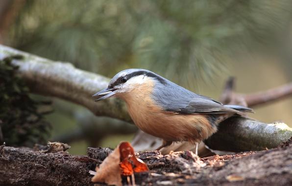 Картинка лист, дерево, птица, еда, ветка, поползень, семечка