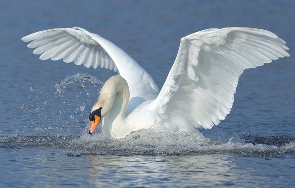 Картинка вода, брызги, птица, крылья, лебедь, взмах