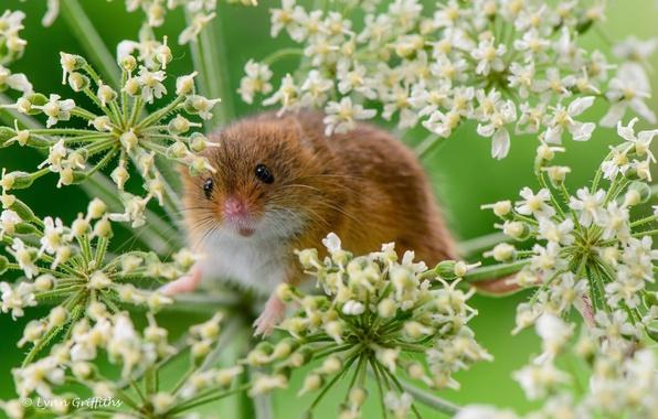 Картинка макро, растение, мышка, грызун, мышь-малютка