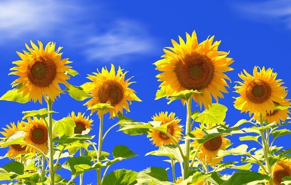 Картинка небо, цветы, подсолнух, лепестки, стебель