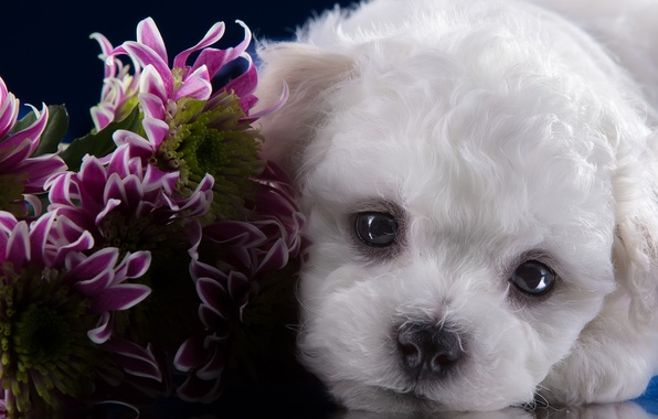 Картинка взгляд, портрет, мордочка, щенок, хризантемы, бишон фризе