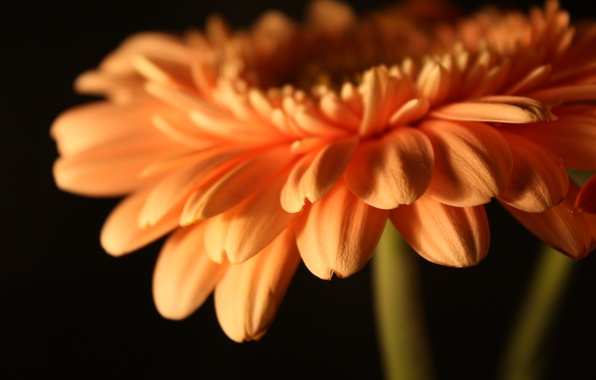 Картинка цветок, цветы, лепестки, стебель, бутон, flowers, гербера