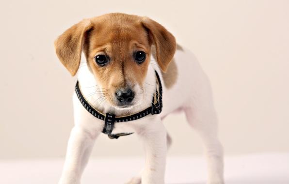 Картинка глаза, взгляд, собака, щенок, уши