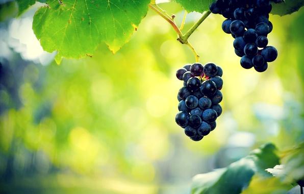 Картинка листья, ягоды, виноград, гроздь, лоза