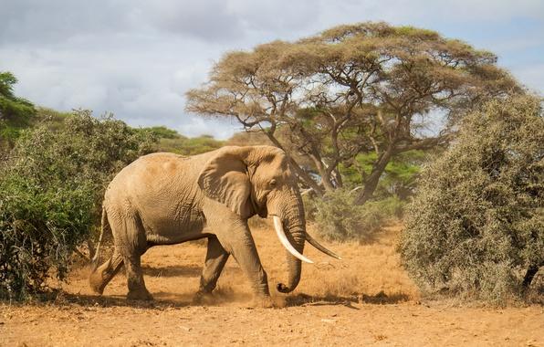 Картинка деревья, природа, слон, Африка, бивни