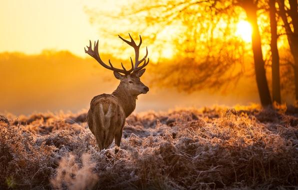 Картинка лес, солнце, деревья, закат, природа, животное, олень, рога