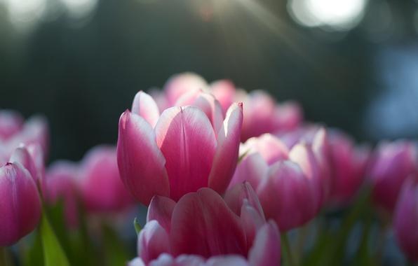 Картинка солнце, макро, лучи, свет, природа, фокус, весна, лепестки, тюльпаны, розовые, бутоны, цветение