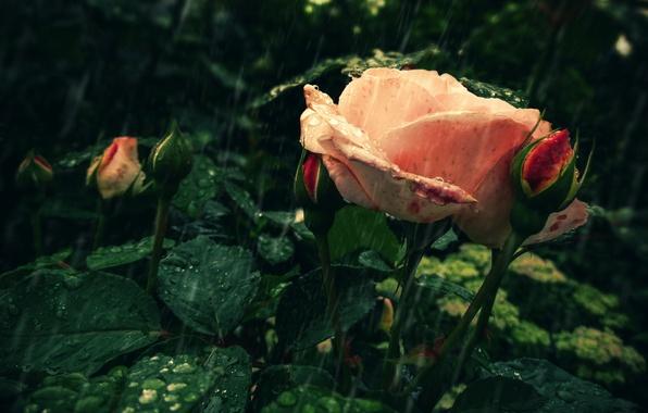 Картинка цветок, капли, дождь, роза