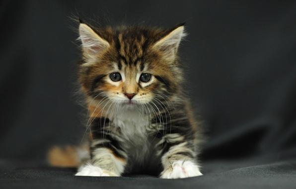 Картинка котенок, пушистый, маленький, сидит, полосатый, трехцветный