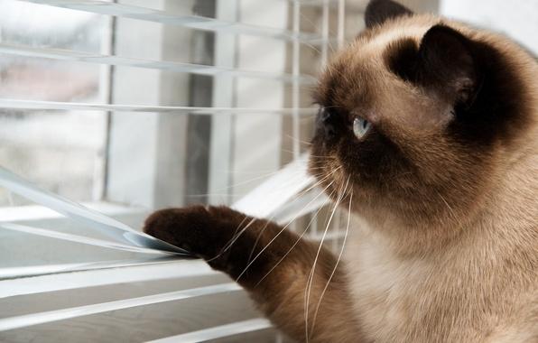 Картинка кот, усы, улица, лапы, размытость, окно, хвост, смотрит, cat, котяра, британский, шоколадный, боке, жалюзи, короткошерстный, …