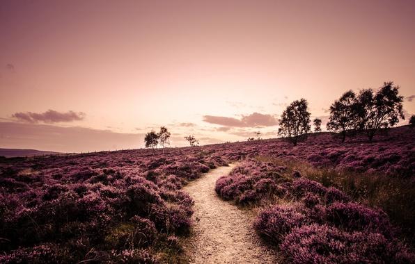 Картинка дорога, поле, деревья, пейзаж, природа, Англия, растения, вечер, тропинка, England, вереск, Derbyshire, Дербишир