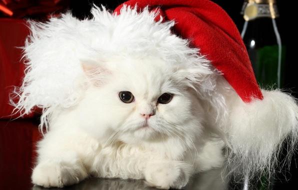 Картинка кошка, белый, кот, праздник, шапка, новый год, шерсть, пушистый, перс, мех, санта клаус