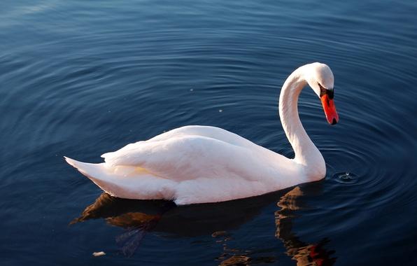 Картинка вода, озеро, отражение, птица, лебедь