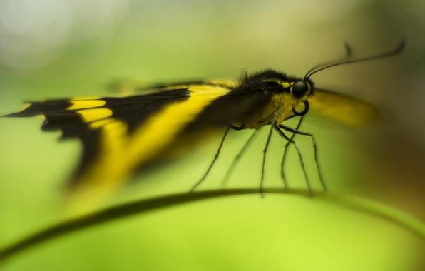 Картинка бабочка, травинка, боке