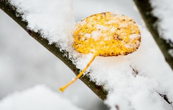 Картинка холод, зима, макро, снег, желтый, лист
