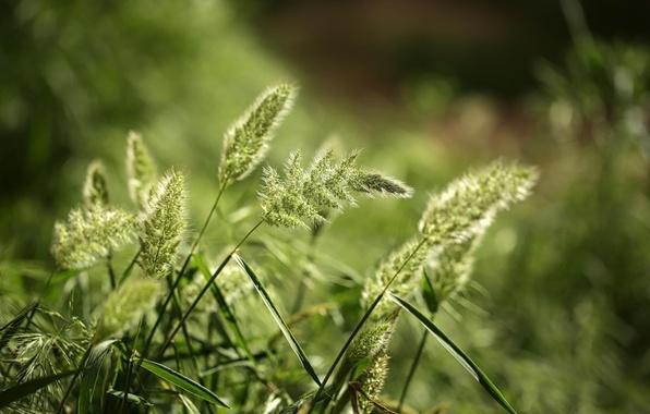Картинка трава, макро, природа, колоски