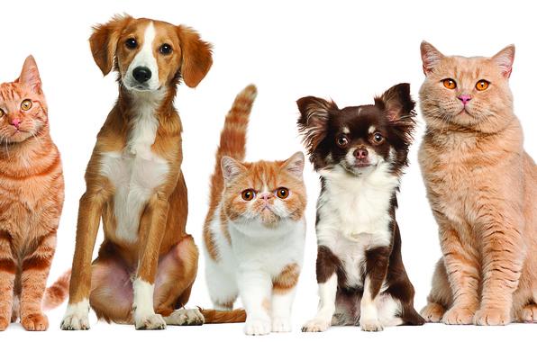 Картинка собаки, кошки, домашние животные