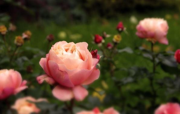 Картинка осень, цветы, природа, розовый, роза, бутон