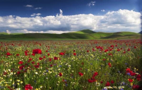 Картинка цветы, холмы, маки, ромашки, луг, васильки