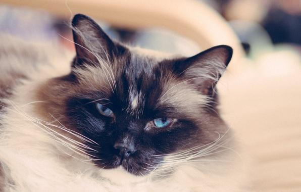 Картинка кот, усы, взгляд, шерсть, котэ