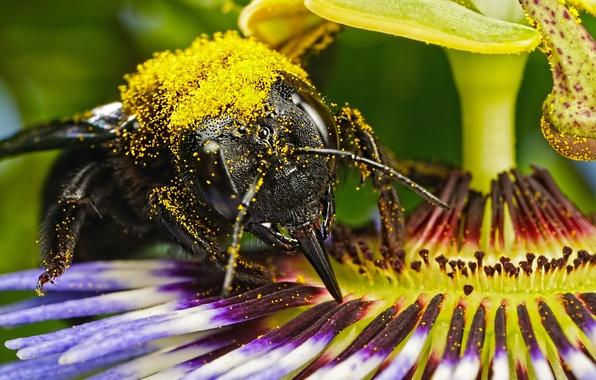 Картинка цветок, пчела, пыльца