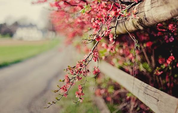 Картинка цветы, природа, веточка, розовый, забор, фокус, весна, ограда, цветение, кусты, боке, айва