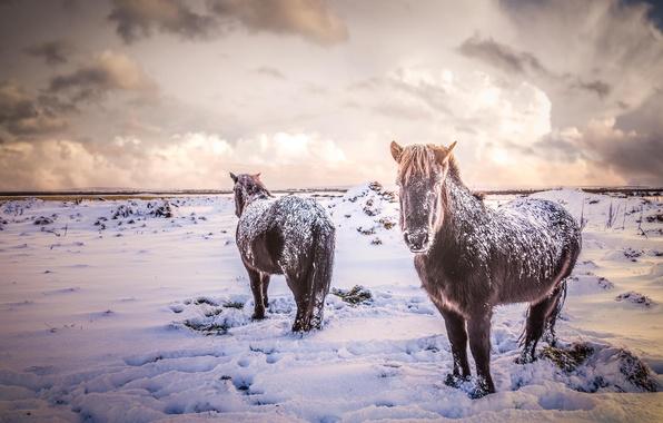 Картинка животные, снег, природа, зима, лошади, кони, поле, Исландия