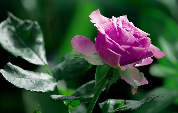 Картинка зелень, лето, цветы, природа, green, роза, summer, rose, flower, nature, размытый фон, крупным планом, насыщенные …