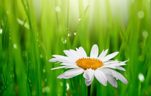 Картинка трава, капли, цветы, свежесть, роса, green, красота, весна, ромашка, белая, white, grass, water, flowers, зелёная, …