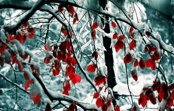 Картинка зима, листья, снег, деревья, ветки, природа, trees, nature, 1920x1200, winter, snow, leaves, branches